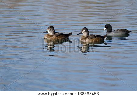 Two Female Ring-Necked Ducks Swimming in the Still Pond Waters