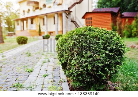 White Cedar Bushes Near Path Of Home At Forest