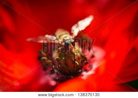 Small bee on the Red Poppy and Bud - field flower macro