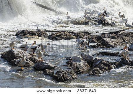A flock of pelicans in a river below a dam.