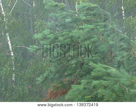 Lodz, Poland - July 11, 2016 Bent tree during a storm and torrential rain during a storm in Lodz.
