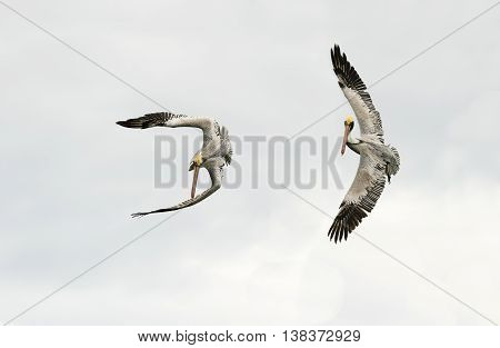 Pelicans are two large seabirds captured during flight spreading their wings in all their beauty.