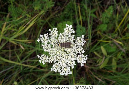 A yellow-collared scape moth (Cisseps fulvicollis) sits on the inflorescence of a Queen Anne's Lace (Daucus Carota), also called the wild carrot, in Shorewood, Illinois during the summer.
