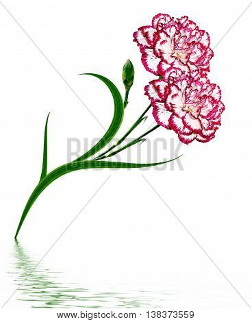 Bouquet carnation. Flowers isolated on white background.
