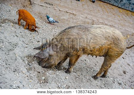 Pig on soil field in Germany in late summer