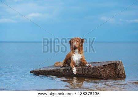 Nova Scotia Duck Tolling Retriever Walking, Playing On The Beach In Summer