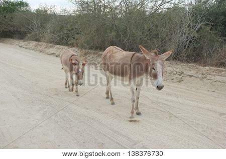 Donkeys on East Cape Road, San Jose del Cabo, Baja California Sur, Mexico