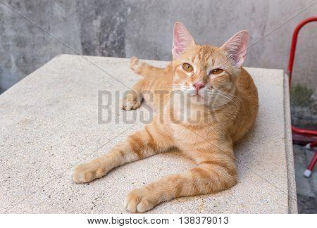 Orange cat lying  looking ahead, Portrait ginger  sleepy
