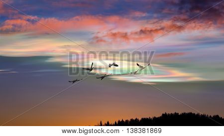Spring or autumn migration of snow geese panoramic view