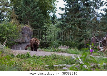 A grizzly bear walks down a pathway in a zoo.