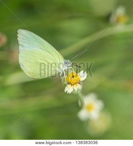 Common Grass Yellow Butterfly (eurema Hecabe Contubrenalis (moore)) On Grass Flower