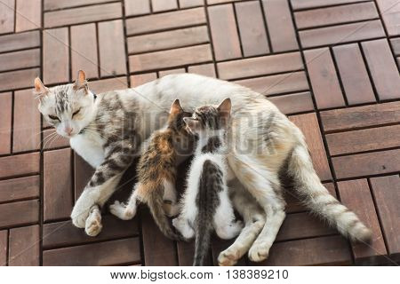mother cat breastfeeding her child, close up image