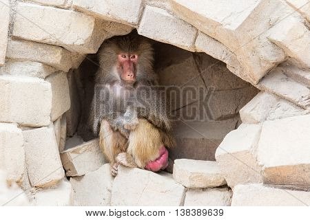 Adult Female Baboon Resting