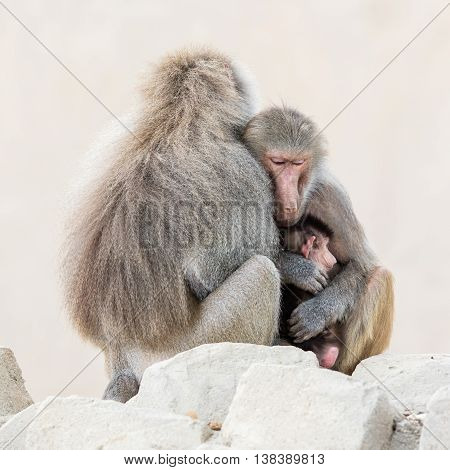 Family Of Baboons Sitting Very Close Together