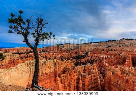 A gnarled tree and a blue sky at twilight in Bryce Canyon