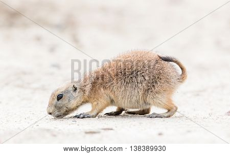 Black-tailed Prairie Dog In It's Natural Habitat
