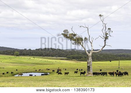 A cattle farm near the towns of Nornalup and Walpole in Western Australia. HDR image