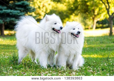 Two adults samoyed dogs on a meadow