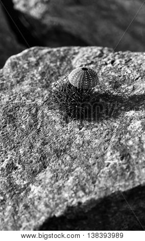 Vertical Black And White Sea Urchin On Stone Shell Composition B