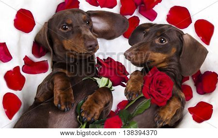 Brown chocolate color dog dachshund  and red roses and a box of Valentine's Day