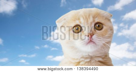 pets, animals and cats concept - close up of scottish fold kitten over blue sky and clouds background