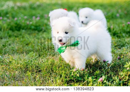 funny puppies of Samoyed dog or Bjelkier