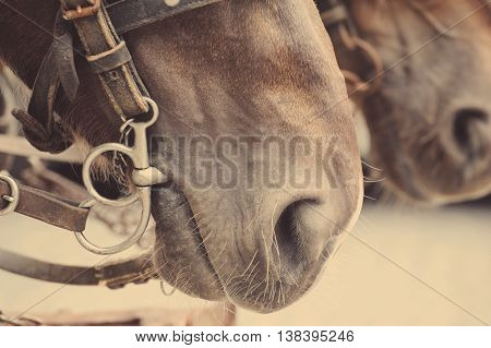 Horse Nose Or Muzzle