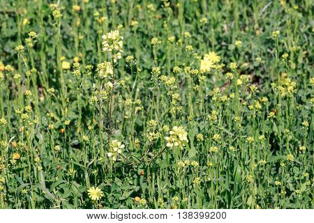 The Yellow rape flowers on a stem