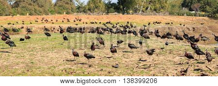A Big flock of the Ibises birds