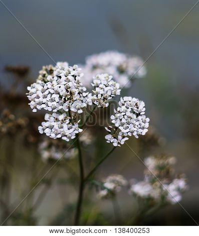 Vertical vivid white Norway flowers bokeh background backdrop