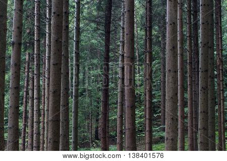 Many tree stems in a green forest