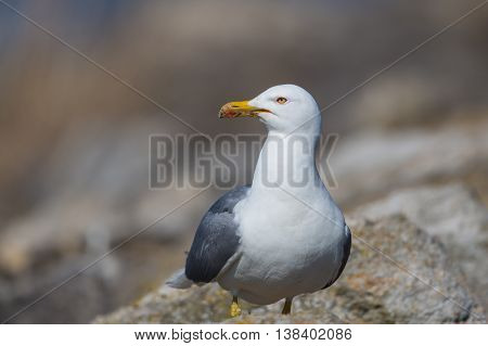 Portrait of yellow-legged gull (Larus michahellis) bird in natural environment