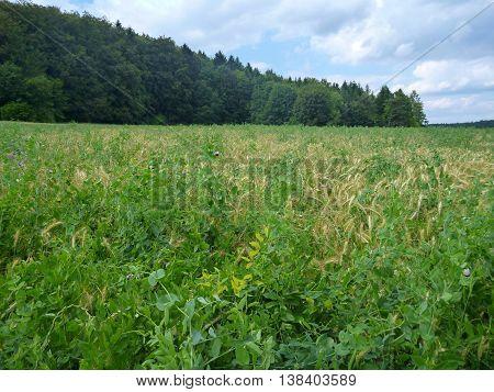 Detail Od A Green Field