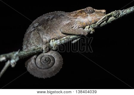 Nocturnal chameleon sitting on the tree's branch. Madagascar