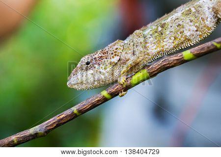 Chameleon sitting on the tree's branch. Madagascar