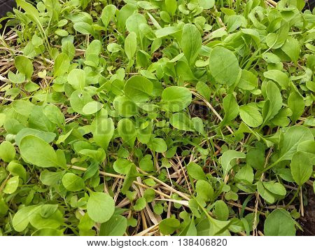 fresh green Brassica rapa plants in nature garden