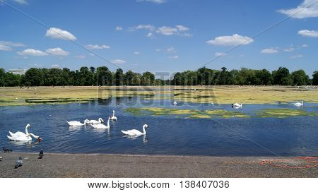 Swans swimming in Hyde Park of London