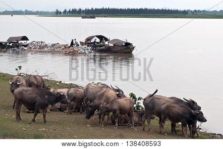 Ninh Binh, VIETNAM, February 12, 2016 Feral buffalo, wetland, rural Ninh Binh, Vietnam