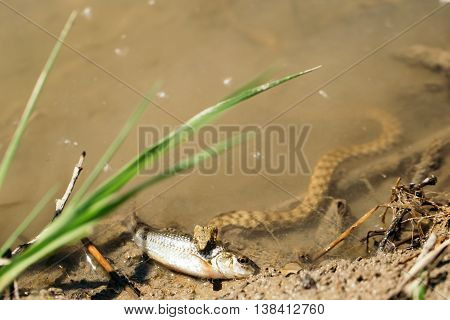 Dangerous snake catches and bites fish in water of river or lake on natural background