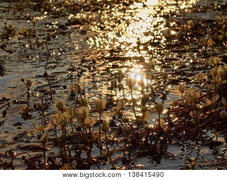 Close up view to stream with blossoms of huge water flower. Stream of clear water is swinging with blooming plants. Sunny summer morning at river.