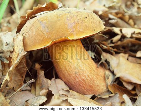 Fresh brown white mushroom hidden in old dry beech leaves and dry needles, closeup view.