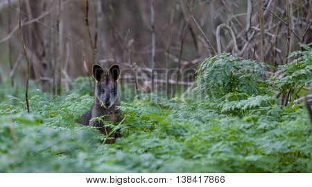 Grey kangaroo in the wild eating among native Australian vegetation.