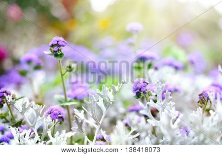 Blue ageratum flower. Sun and wild purple or blue flowers with copy space. Summer wildflowers with smooth light and sunbeam.