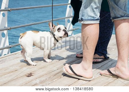 Stroking French Bulldog. Dog is walking near the sea. Owner squeeze and palm their dog.