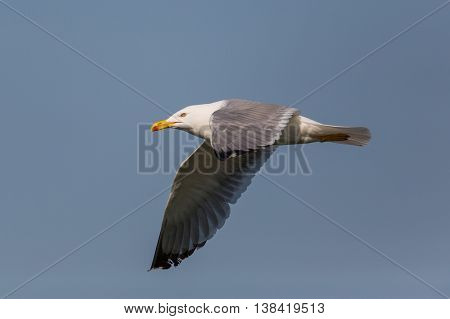 Portrait of flying yellow-legged gull (Larus michahellis) in blue sky