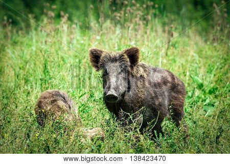 Wild boar family on the green grass