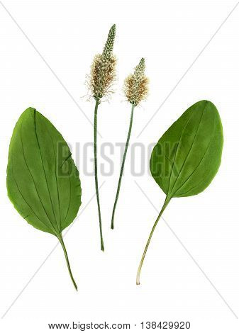 Pressed and dried set of flowers and leaves plantago (psyllium). Isolated on white background. For use in scrapbooking floristry (oshibana) or herbarium