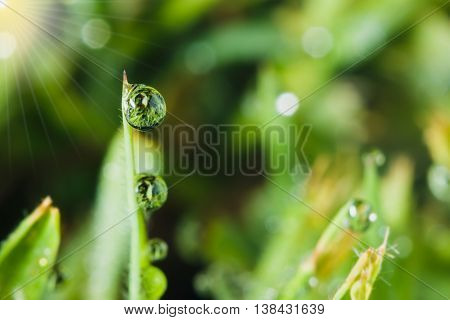 Dew drops on green grass leaves with sunlight