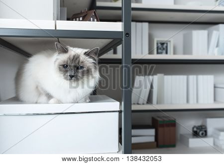 Beautiful Cat Exploring Shelves