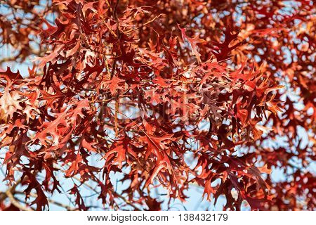 Red Autumn leaves of Pin Oak, known as swamp Spanish oak, growing in South Australia